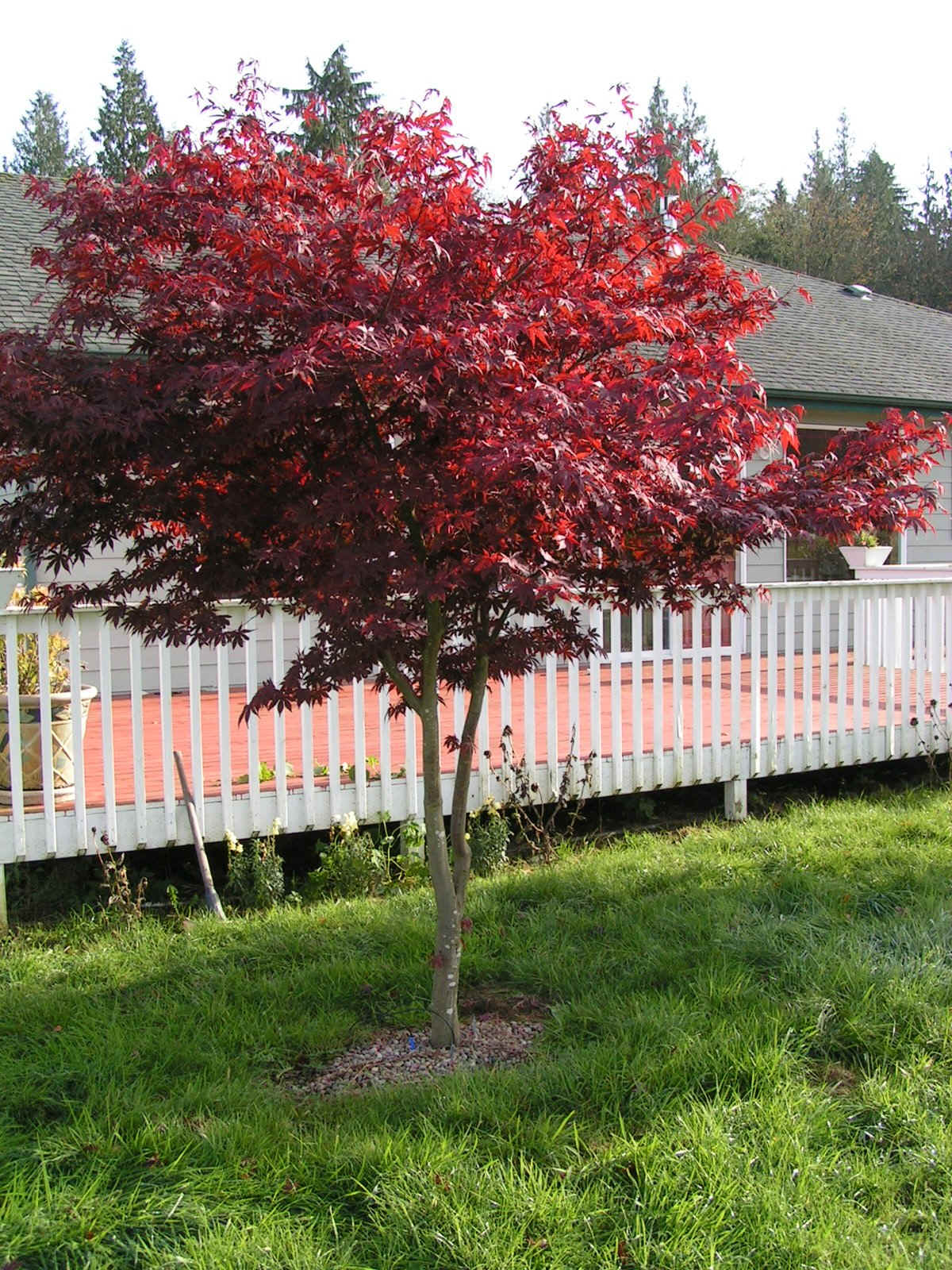 Redleaf japanese maple trees available in washington state for Japanese maple tree